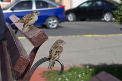 Sparrows Royalty Free Stock Photography