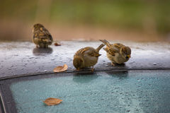 Sparrows drink water Royalty Free Stock Photo