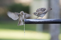 Sparrows drinking water. Royalty Free Stock Images