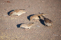 Sparrows eat grain Royalty Free Stock Image