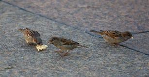 Sparrows eat white bread royalty free stock photo