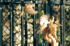 Sparrows eating Stock Photography