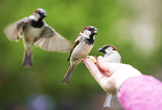 Sparrows eating from child hand. Stock Photos