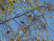 Sparrows. Eating seeds in a tree royalty free stock photo