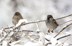 Sparrows - RAW format Stock Image