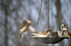 sparrows för fågelförlagemataregrupp Royaltyfri Fotografi