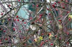 Sparrows förgrena sig på Royaltyfri Foto