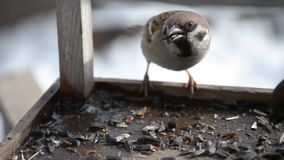 Sparrows on a feeder with sunflower seeds in winter stock footage