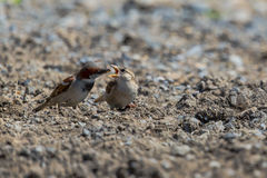 Sparrows during feeding Royalty Free Stock Photography