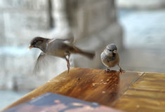 Sparrows feeding Royalty Free Stock Photography