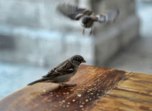 Sparrows feeding Stock Photography