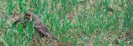Sparrows feeding time. Young Sparrow being fed while on the grass on the left of image Stock Photography