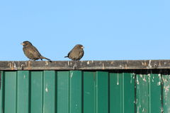Sparrows on a fence Royalty Free Stock Image