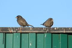 Sparrows on a fence. Urban sparrows bask in the sun Stock Photography