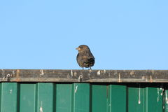 Sparrows on a fence. Urban sparrows bask in the sun Royalty Free Stock Image