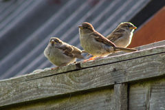 Sparrows on Fence Royalty Free Stock Image