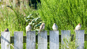 Sparrows on the fence Royalty Free Stock Photos