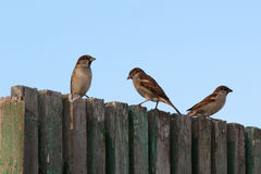 Sparrows on the  fence Royalty Free Stock Photography