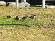 Sparrows on field Royalty Free Stock Photo