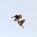 Sparrows fight Royalty Free Stock Images