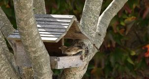 Sparrows fight for seeds. Little sparrows fight to eat seeds in a wooden cabin stock video
