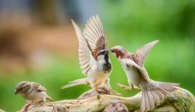 Sparrows fighting Stock Photos
