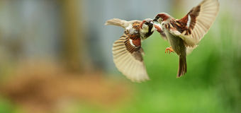 Sparrows fighting Stock Images
