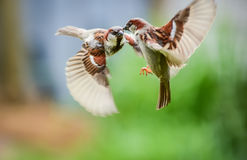 Sparrows fighting Stock Photography