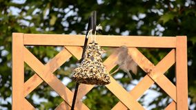 Sparrows fighting for position on a hanging feeder stock video footage