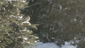 Sparrows in the fir forest. Sunny winter day stock video footage