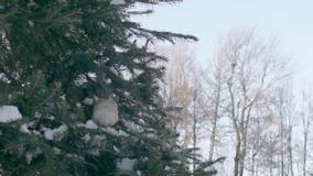 Sparrows in the fir forest. Sunny winter day stock video