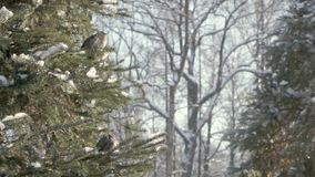 Sparrows in the fir forest. Sunny winter day stock footage