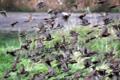 Sparrows in flight Royalty Free Stock Photos