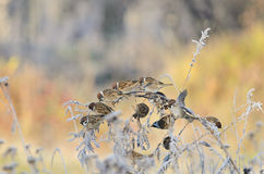 Sparrows Royalty Free Stock Image