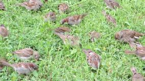 Sparrows flock feeds on seeds of green grass at spring time. Tree sparrows hopping in a grass on the green field stock video
