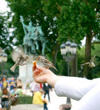 Sparrows. On the fly peck at the bread from the hands Royalty Free Stock Photo