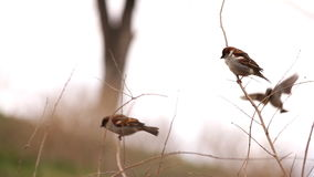 Sparrows fly and sit on branch. Sparrows fly and sit on the branch stock footage
