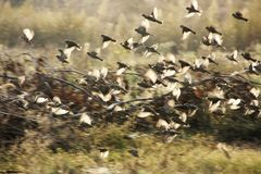 Sparrows. Flying at dusk. A flock of sparrows flying illuminated by sunlight Stock Photography
