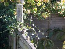 Sparrows and garden birds resting on wooden fence outside stock images