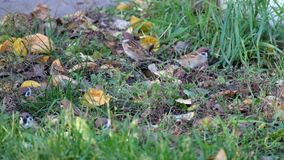 Sparrows in the grass pecking seeds. A sparrows in the grass pecking seeds stock video footage