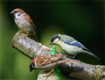 Sparrows and a great tit Royalty Free Stock Images
