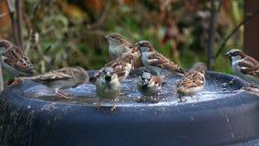 Sparrows. Grey Sparrows eat bread crumbs stock video