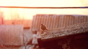 Sparrows on house roof. A sparrows on house roof stock footage