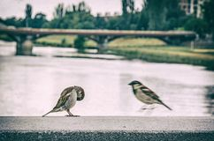 Free Sparrows In The City, Analog Filter Royalty Free Stock Photography - 122338077
