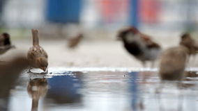 Sparrows jump on a big pool stock footage