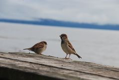 Sparrows on a picnic table at Lake Taupo Stock Image