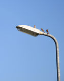 Sparrows on the lamp post Royalty Free Stock Photography