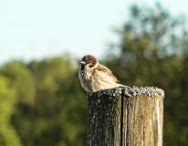 Sparrows life Royalty Free Stock Photo