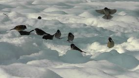 Sparrows looking for food in winter stock video