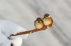 Sparrows in love stock photos